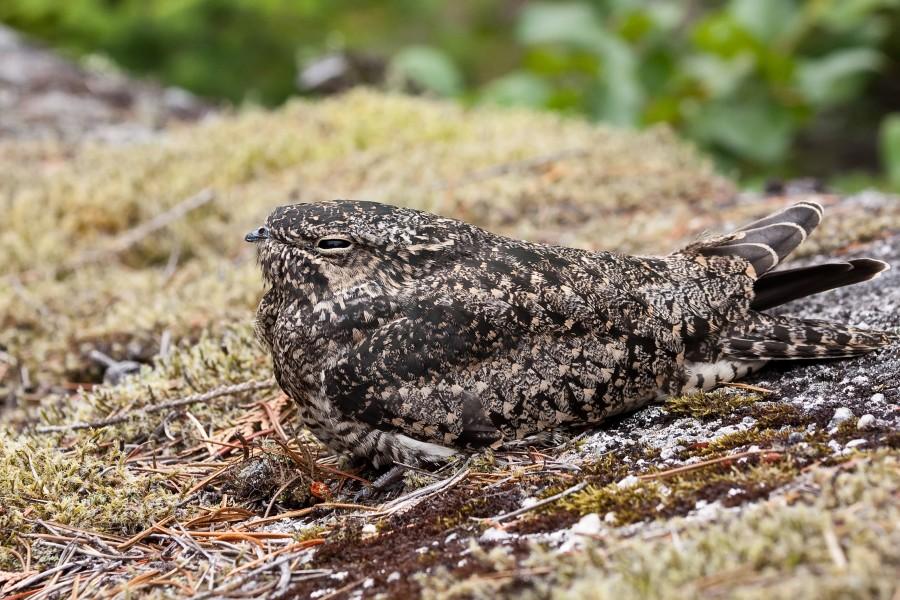 Chordeiles minor, Foto: thefabweb.com