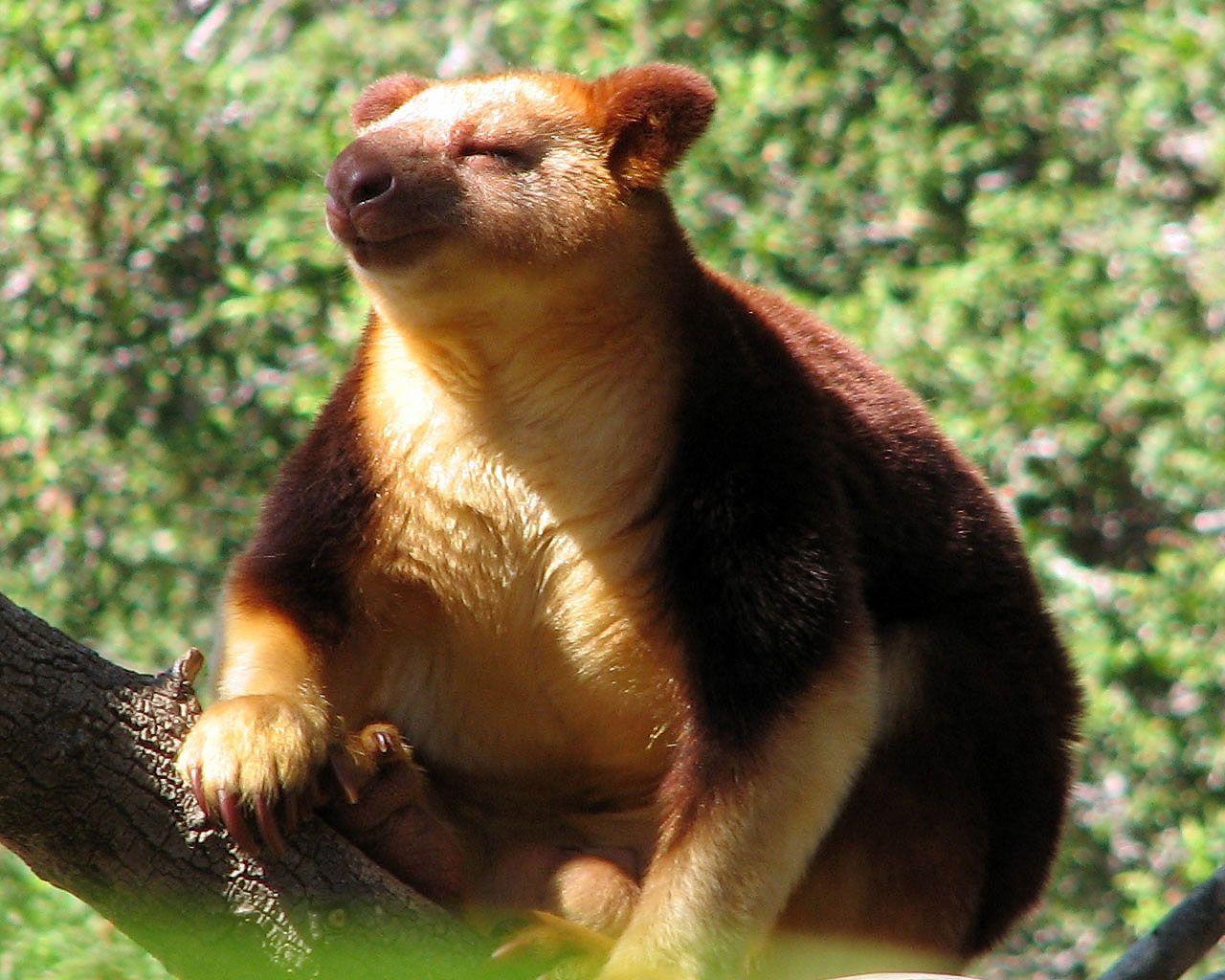 Cangurul de copac, Foto: doseng.org