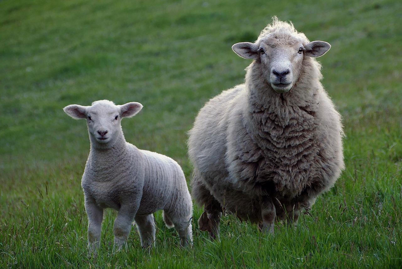 lana provenita de la animale
