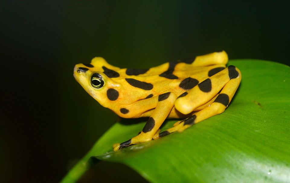 Atelopus zeteki, Foto: voicesforbiodiversity.org