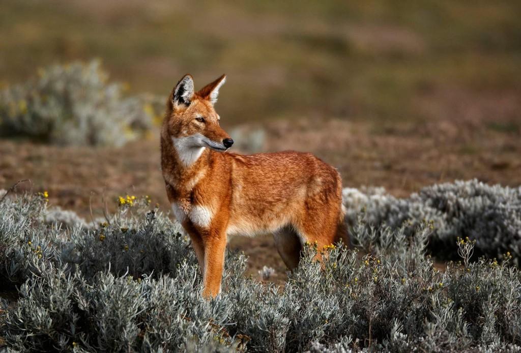 Canis simensis, Foto: weetjevandedag.be