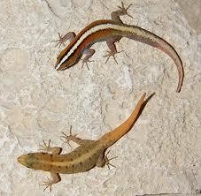 Gecko-dungat-de-zi-Gonatodes-vittatus-Mascul-si-femela