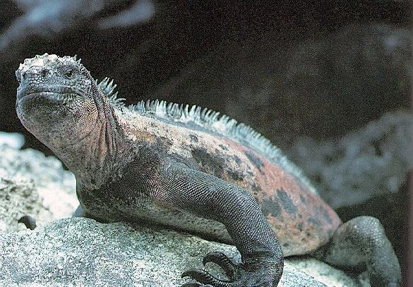 Iguana-de-mare-Amblyrhynchus-cristatus