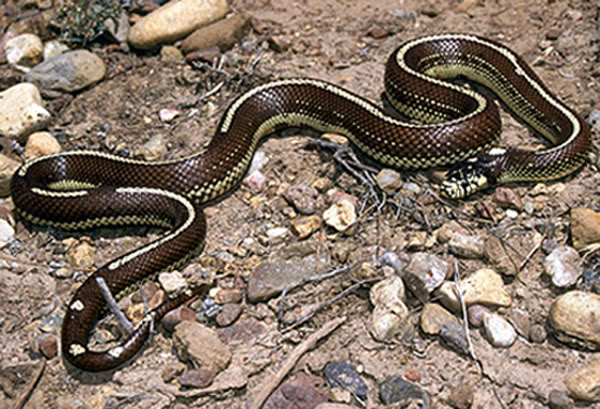 Lampropeltis-getula-californiae