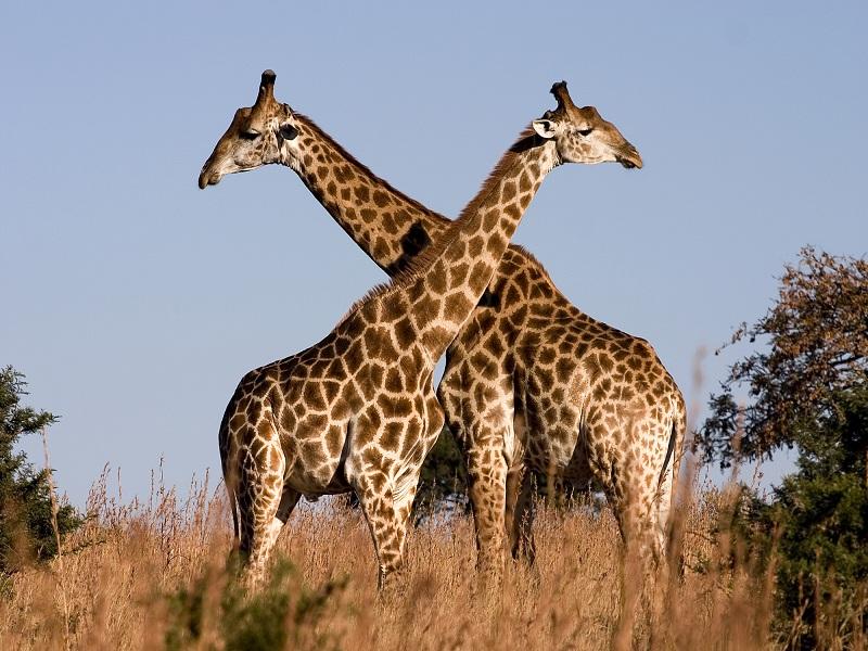 Girafe, Foto: jamnews.ir