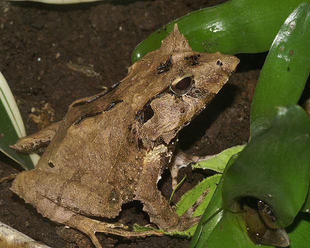 Broasca-cu-corn-din-Insulele-Solomon-Ceratobatrachus-guentheri