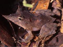 Broasca-cu-corn-din-Insulele-Solomon-Ceratobatrachus-guentheri1