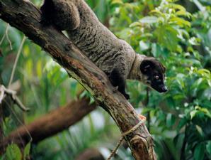 Civeta-de-palmier-Paradoxurus-hermaphroditus1