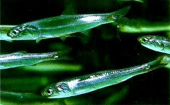 Hamsia-nordica-Engraulis-mordax