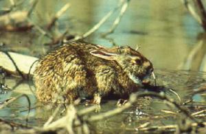Iepurele-de-mlastina-Sylvilagus-aquaticus-1