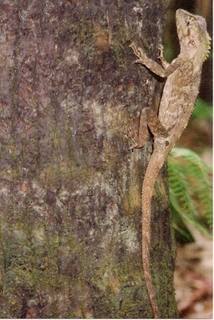 Soparla-sudica-cu-capul-unghiular-Hypsilurus-spinipes