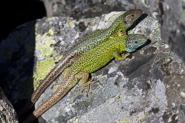 Soparla-verde-a-lui-Schreiber-Lacerta-schreiberi-Mascul-si-Femela