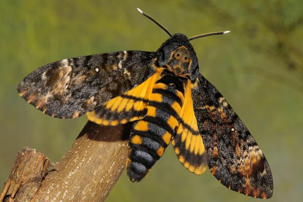 Acherontia Atropos, Fluturele cap-de-mort, Foto: taxondiversity.fieldofscience.com