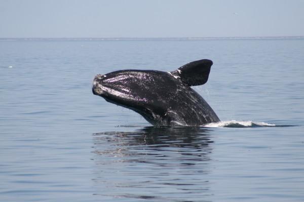 Balena nordica la suprafata apei, Foto: whalingmuseumblog.org