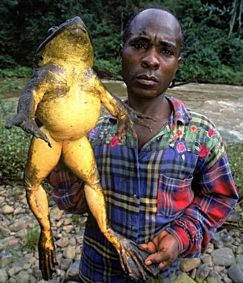 African cu broasca Goliat (Conraua goliath), Foto: limabelaslimapuluhtujuh.blogspot.com