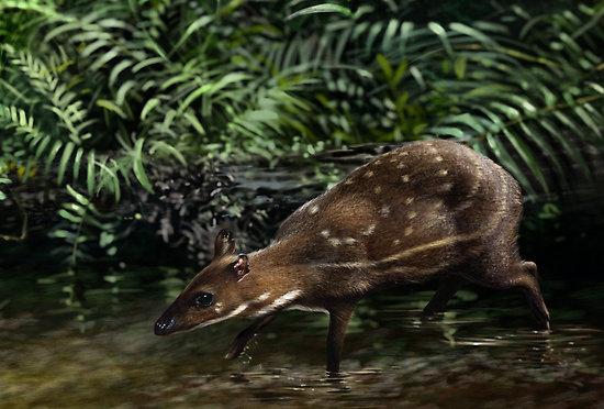 Cerbul moscat de apa (Hyemoschus aquaticus)