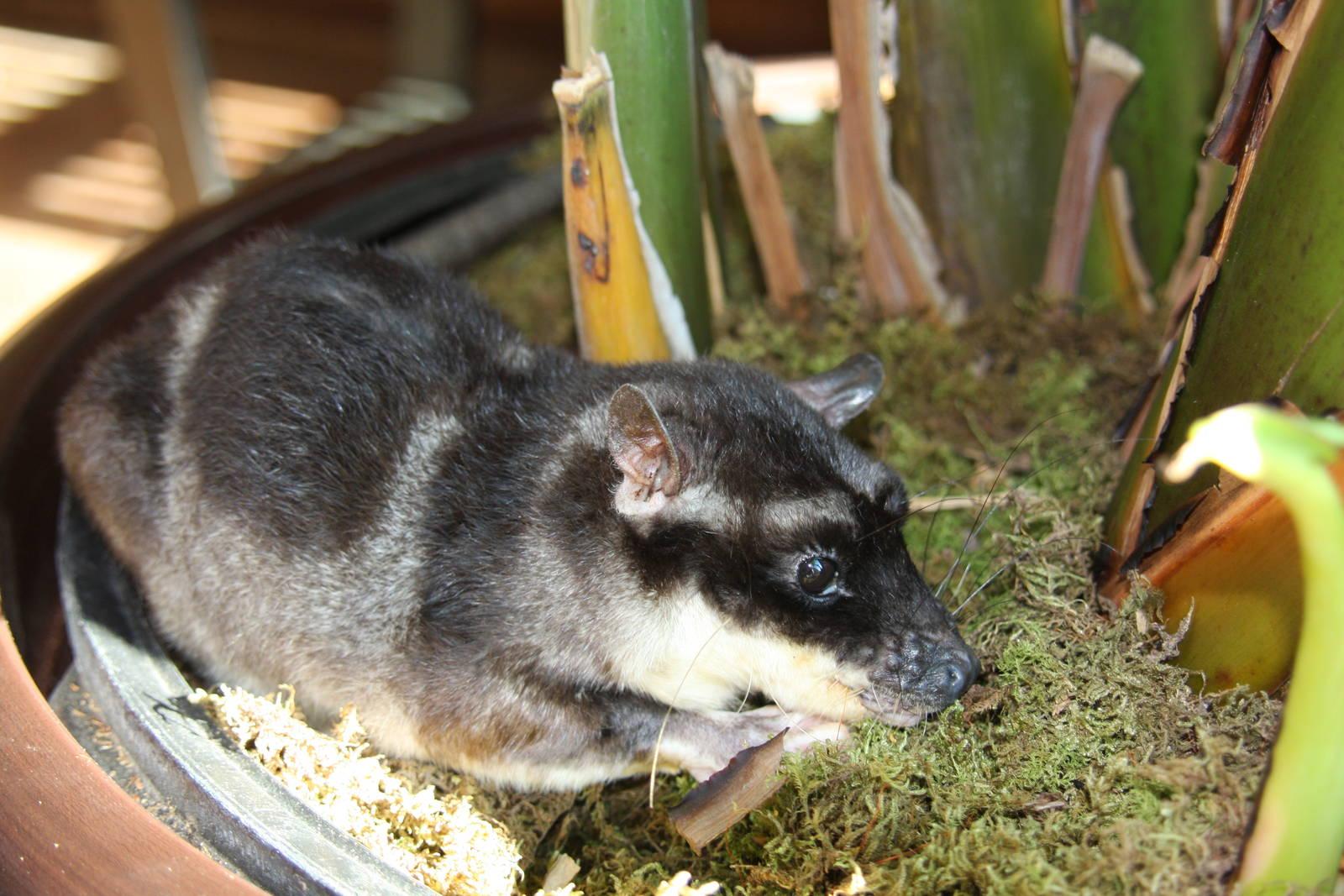 Chironectes minimus, Foto: zoochat.com
