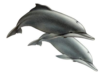 Delfinul de Atlantic cu cocoasa - Sousa teuszii