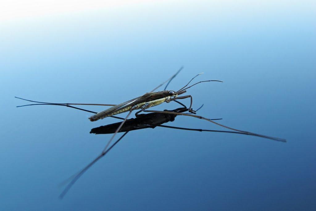 Gerridae, Foto: chemistry-chemists.com