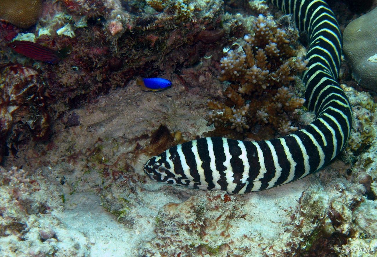Gymnomuraena zebra, Foto: argusakwarystyka.pl