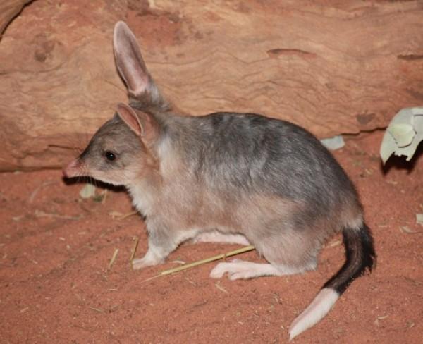 Iepurele marsupial (Macrotis lagotis) cu coada tricolora, in captivitate, Foto: zooland.md