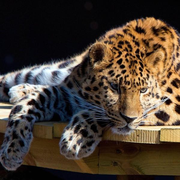 Leopardul - Panthera pardus