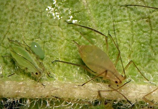 Macrosiphum euphorbiae, Foto: eol.org