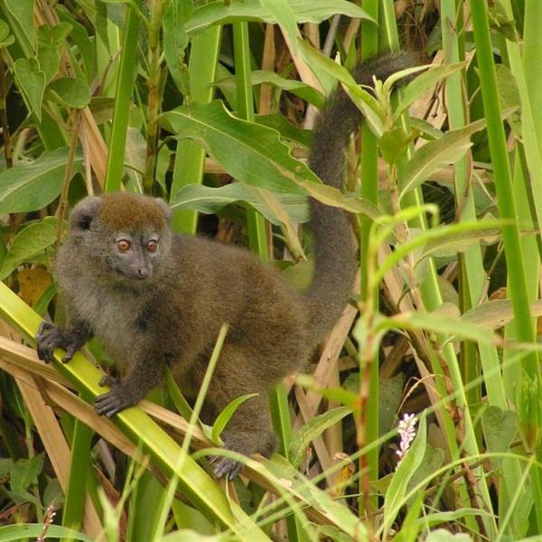 Maki de mlastina (Hapalemur griseus) in mediul sau preferat din Madagascar, Foto: fano-guide.blogspot.com