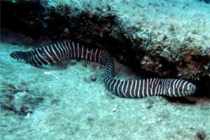 Murena zebra - Gymnomuraena zebra