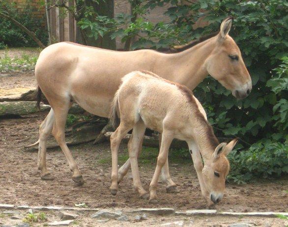 Onagrul (Equus hemionus), Femela cu puiul ei, Foto: foundalis.com