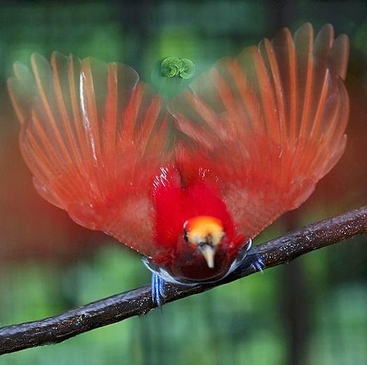 Pasarea-paradis rege, Mascul, Foto: amaisingbird.blogspot.ro