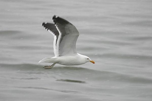 Pescarusul Kelp - Larus dominicanus