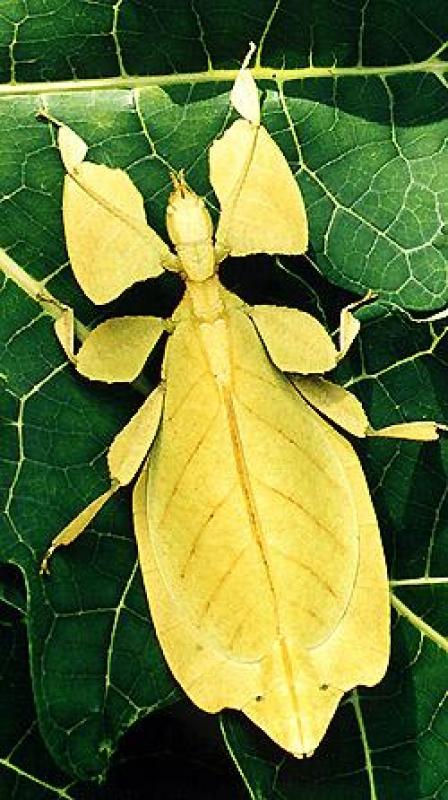 Phyllium Bioculatum galbena, Foto: bugworld.net63.net