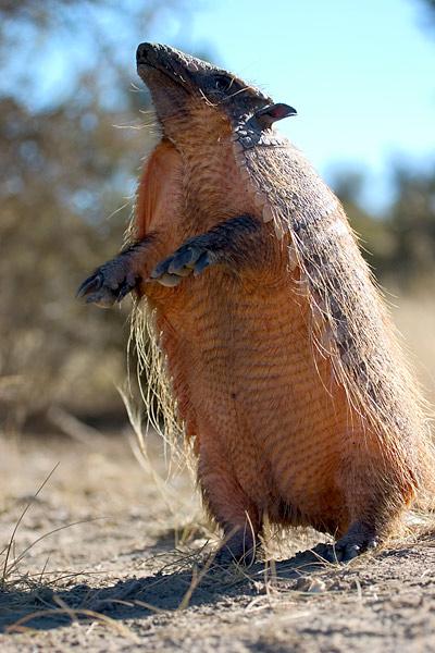Pichi (Zaedyus pichiy) daca este motivat sta si in doua picioare, Foto: fotonatura.org