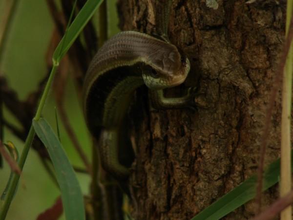 Scincida cu coada lunga (Mabuya longicaudata) catarata pe trunchiul unui copac, Foto: catdropfoundation.org