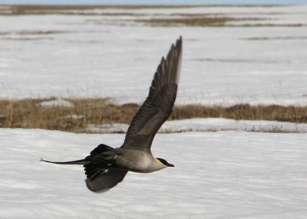 Skua cu coada lunga (Stercorarius longicaudus) in zbor, Foto: ibc.lynxeds.com
