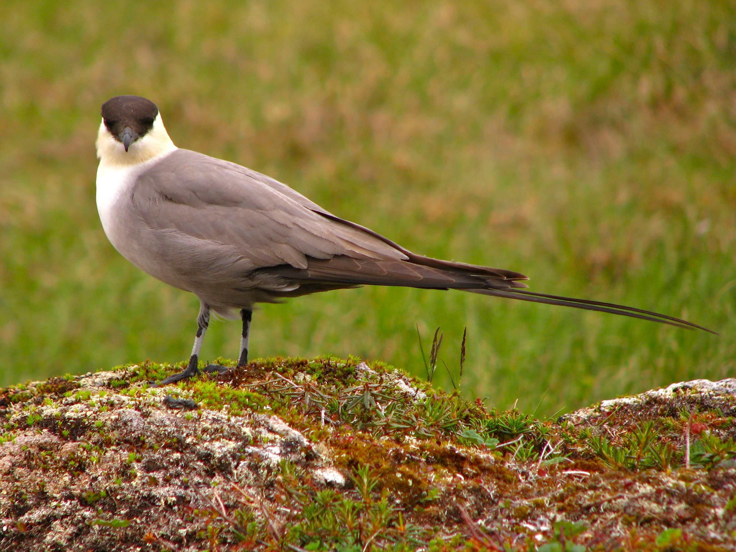 Stercorarius longicaudus, Foto: ibc.lynxeds.com