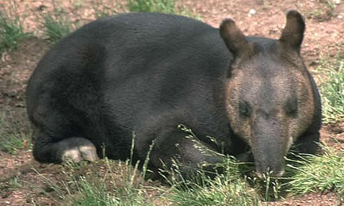 Tapirul de munte (Tapirus pinchaque) se odihneste in timpul zilei, Foto: animalcorner.co.uk