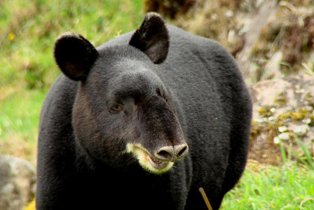 Tapirus pinchaque, Foto: naturaltrekker.wordpress.com