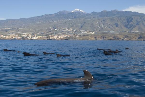 Grup de delfini-pilot cu inotatoare scurte in Tenerife, Foto: cartinafinland.fi