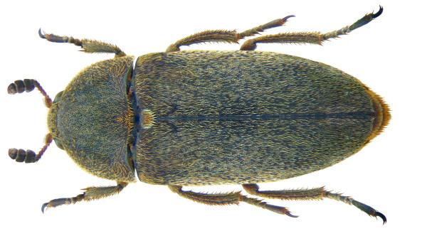 Gandacul Dermestes maculatus