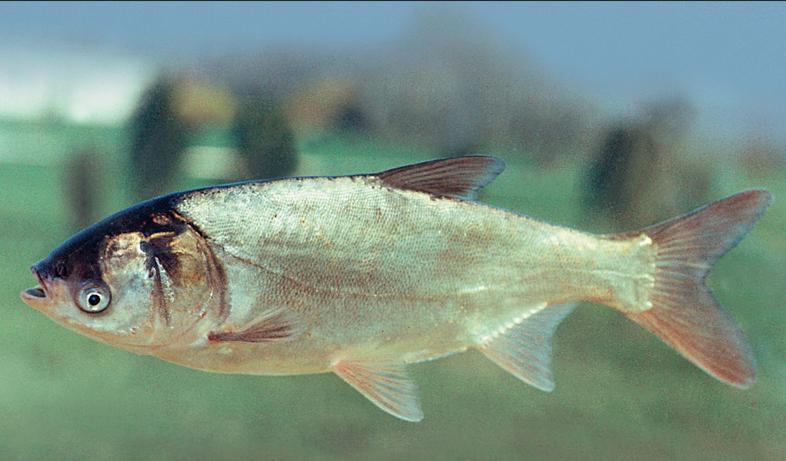 Hypophthalmichthys molitrix, Foto: exoticfishaquarium.com