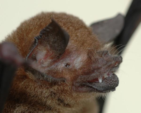 Liliacul cu spate golas al lui Davy, Capul, Foto: bathead.com