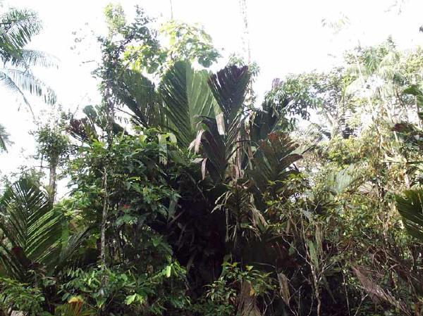 Manicaria Saccifera, Foto: plantapalm.com