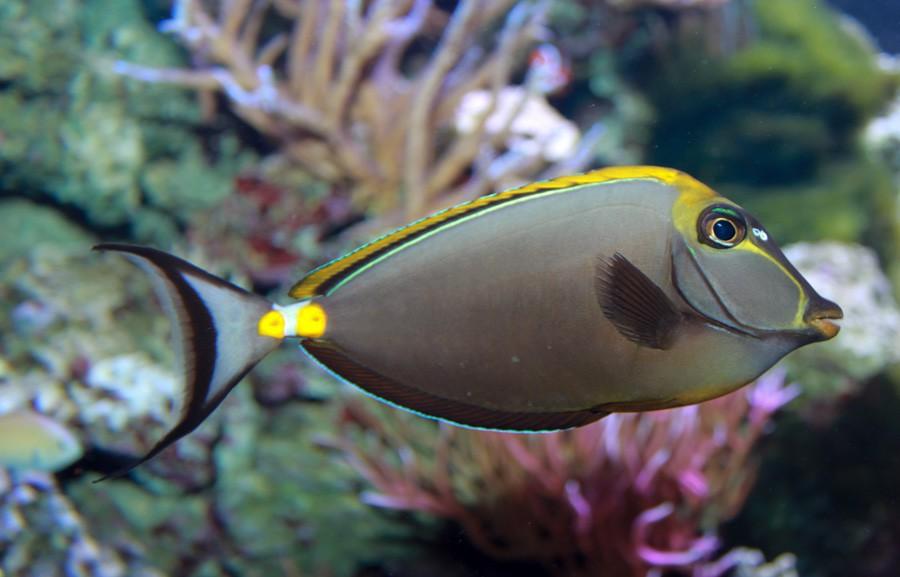 Naso lituratus, Foto: acuarioadictos.com
