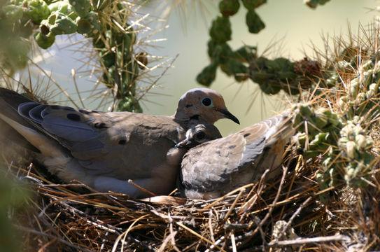 Porumbelul jelitor, Mascul si femela in perioada clocitului, Foto: eol.org
