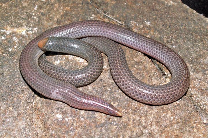 Pseudotyphlops philippinus, Foto: inaturalist.org