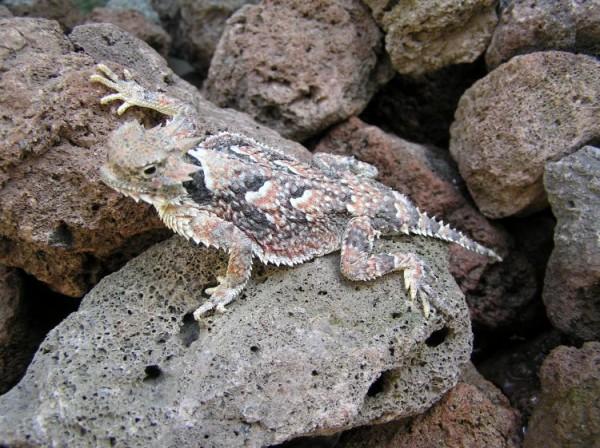 Soparla de desert cu coarne (Phrynosoma platyrhinos) in mediul ei natural, biolib.cz
