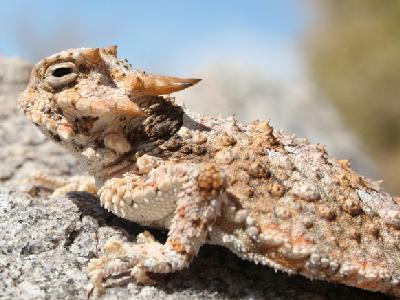Soparla de desert cu coarne (Phrynosoma platyrhinos), Foto: southwesternherp.com
