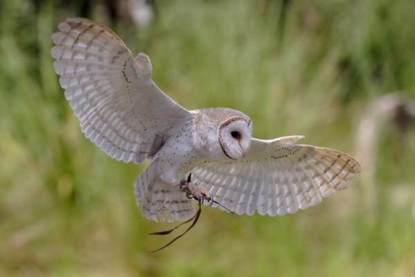 Striga (Tyto alba) in zbor, Foto: photorator.com